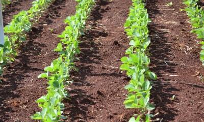 Imagem ilustrativa de plantação agrícola